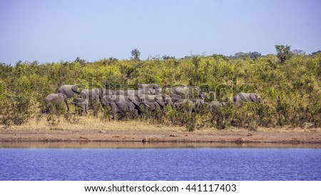 african bush elephants in Kruger Nationa Park, South Africa - stock photo