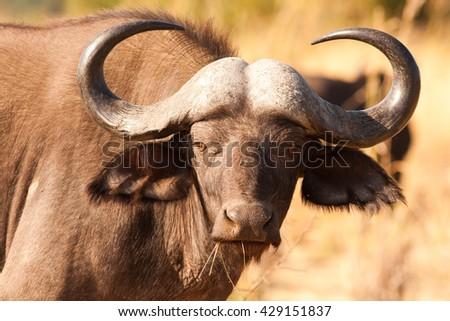 African Cape Buffalo - stock photo