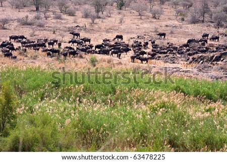 african cape buffalo in Kruger National Park, South Africa,huge herd in the bush - stock photo