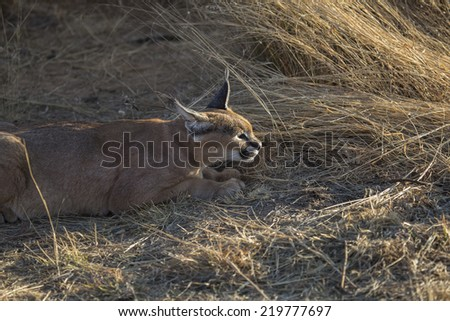 African Caracal Linx in Namibia, Africa - stock photo
