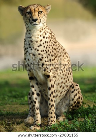 african cheetah, masai mara, africa. sitting on savannah grass looking at camera. full frame predator feline similar leopard - stock photo