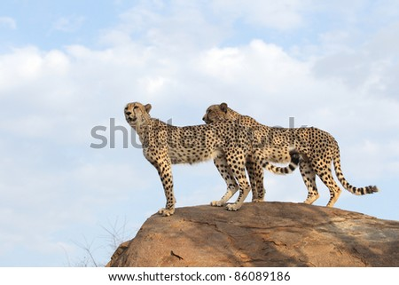 African Cheetah searching for prey - stock photo
