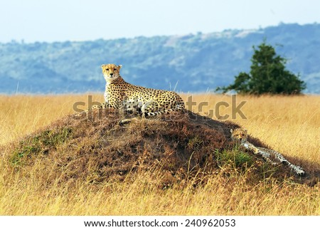 African Cheetahs (Acinonyx jubatus) on the Masai Mara National Reserve safari in southwestern Kenya. - stock photo