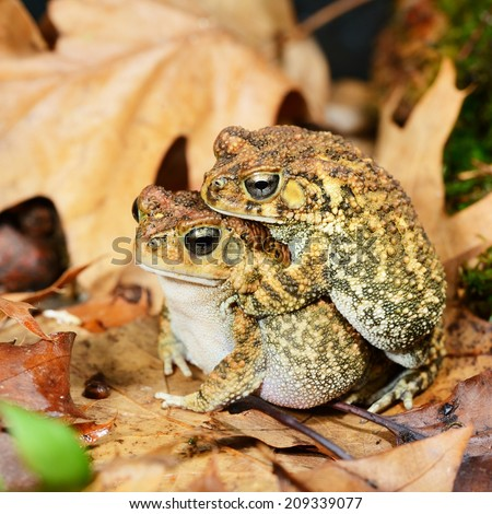 African common toad Amietophrynus gutturalis mating - stock photo