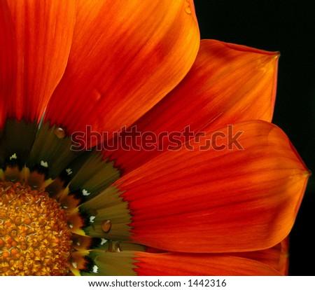 African Daisy - stock photo