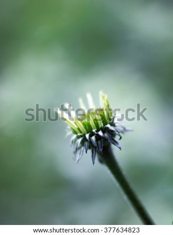 African Daisy  - stock photo