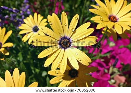 stock-photo-african-daisy-after-rain-78852898.jpg