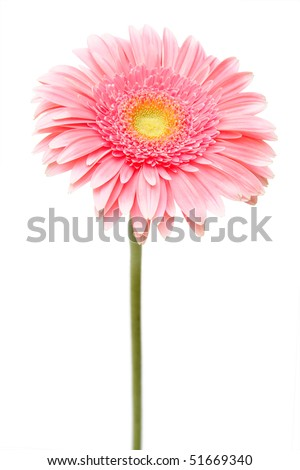 african daisy (gerbera) isolated on white - stock photo