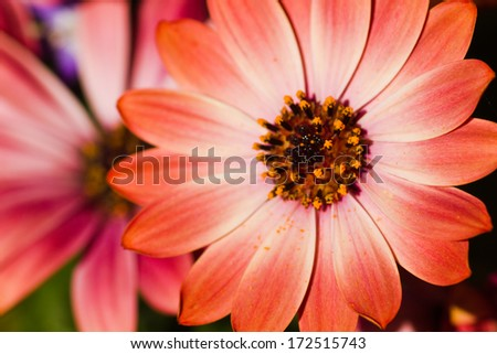 African daisy or Cape marigold flowers in close view - stock photo