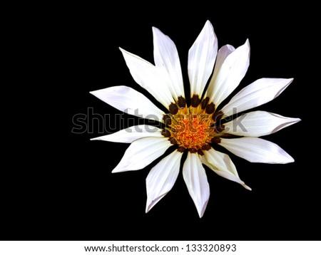 African Daisy, (Osteospermum) over black - stock photo