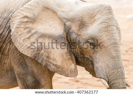 African elephant, a close-up portrait.  - stock photo