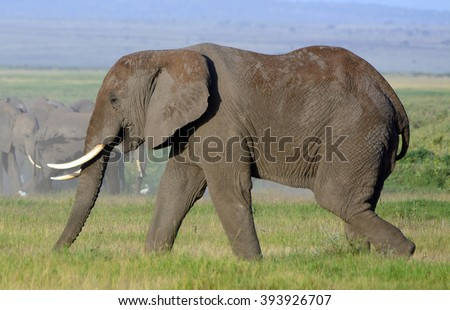 African elephant, Amboseli National Park, Kenya - stock photo