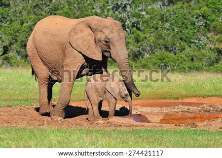 African Elephant and calf at watering hole - stock photo