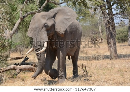 African Elephant bull displaying aggression - stock photo