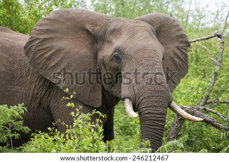 African Elephant bull, Loxodonta africana, amongst green foliage in the Kruger National Park, South Africa. - stock photo