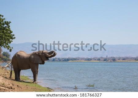 African Elephant bull (Loxodonta africana) drinking from the Zambezi river - stock photo