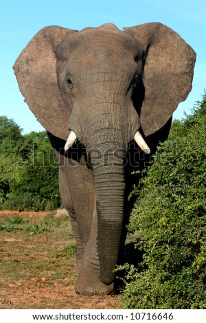 African Elephant Bull on an afternoon stroll - stock photo