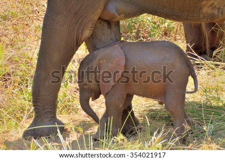 African elephant calf escaping the heat by seeking the shade from its mother - stock photo