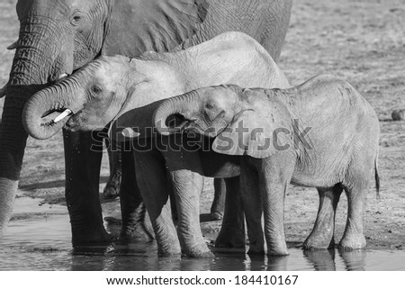 African Elephant calves drinking - stock photo