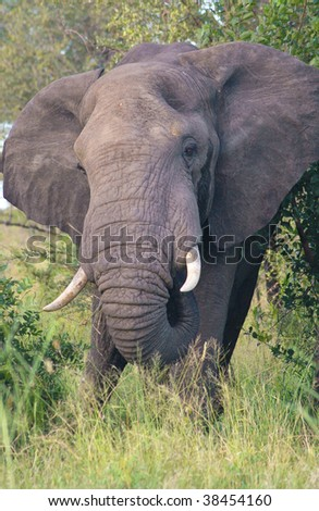 African elephant charge - stock photo