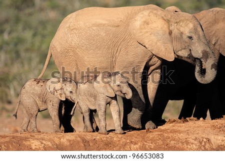 African elephant cow (Loxodonta africana) with small calves, South Africa - stock photo