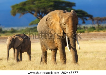 African Elephant cow with young one early in the morning  with nice light in Amboseli National Park, Kenya - stock photo