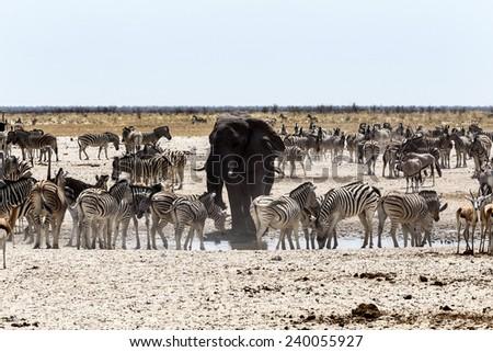 African elephant drinking together with zebras and antelope at a muddy waterhole, Etosha national Park, Ombika, Kunene, Namibia. True wildlife photography - stock photo