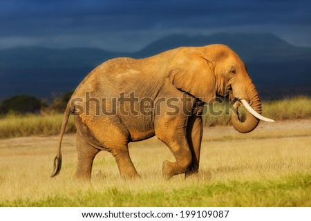 African Elephant eating grass just before the rain in Amboseli National Park, Kenya - stock photo