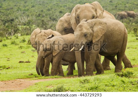 African elephant family walking on a pathway in the hot sun - stock photo