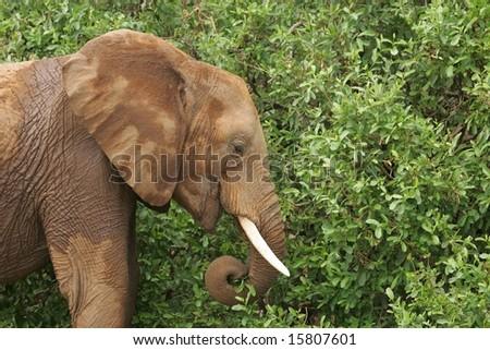 African Elephant Feeding - stock photo
