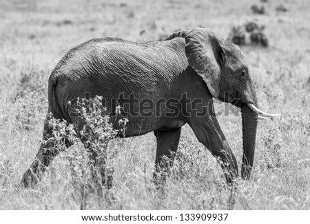 African elephant female on the Masai Mara National Reserve, Kenya, Eastern Africa (black and white) - stock photo