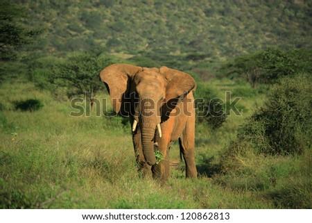 African elephant flapping its ears in Samburu National Park - stock photo
