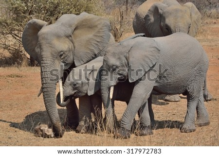 African Elephant gathering around a mineral source - stock photo