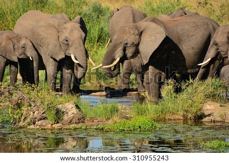 African Elephant heard drinking in the riverbed - stock photo