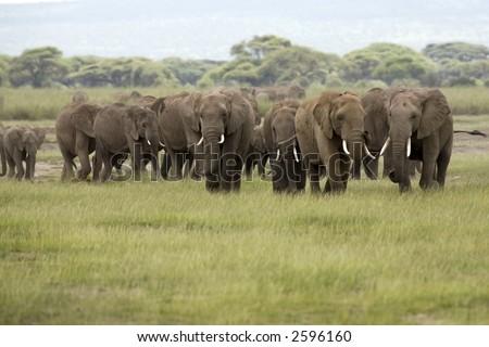 African Elephant herd Amboseli Kenya - stock photo