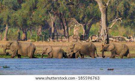 African Elephant herd (Loxodonta africana) walking through water - stock photo