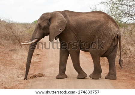 African elephant in Kruger park - stock photo