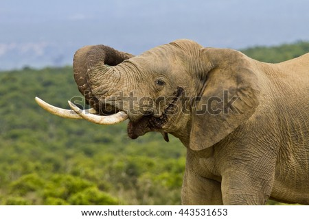 African elephant in must curing its trunk around its ear  - stock photo