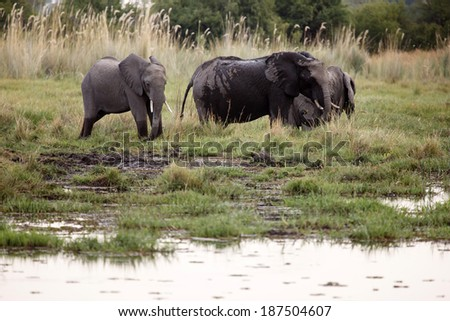 African Elephant in Okavango Delta - Moremi National Park in Botswana - stock photo