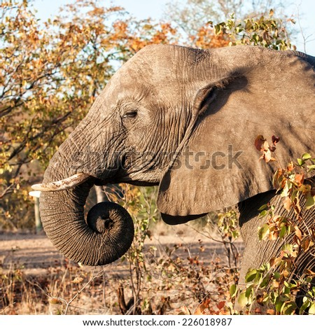 African elephant in the Kruger National Park, South Africa - stock photo
