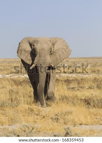 African elephant in the vast plains of Etosha National Park, Namibia, Southern Africa - stock photo