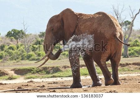 african elephant in Tsavo National Park Kenya - stock photo