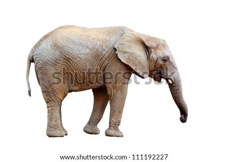 African elephant  - isolated - stock photo