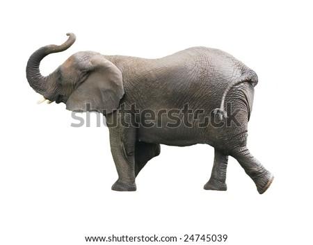 african elephant isolated against white background - stock photo