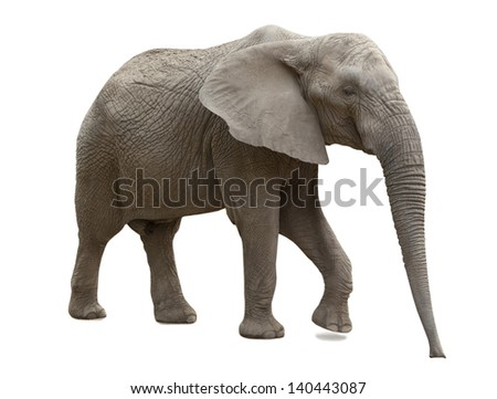 African elephant isolated on white background - stock photo