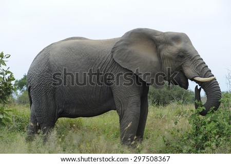 African elephant.  KNP, SOUTH AFRICA   - stock photo