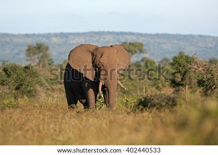 African elephant, Loxodonta africana - stock photo