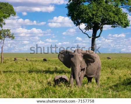 African elephant (Loxodonta africana) - stock photo
