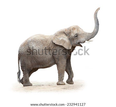 African elephant (Loxodonta africana) female on a white background.  - stock photo