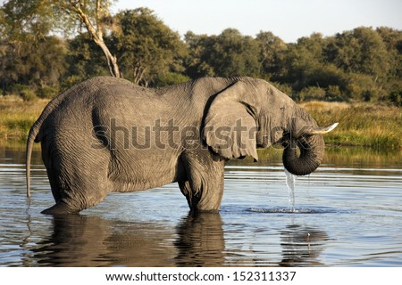African Elephant (Loxodonta africana) in a waterhole in the Savuti area of Botswana - stock photo